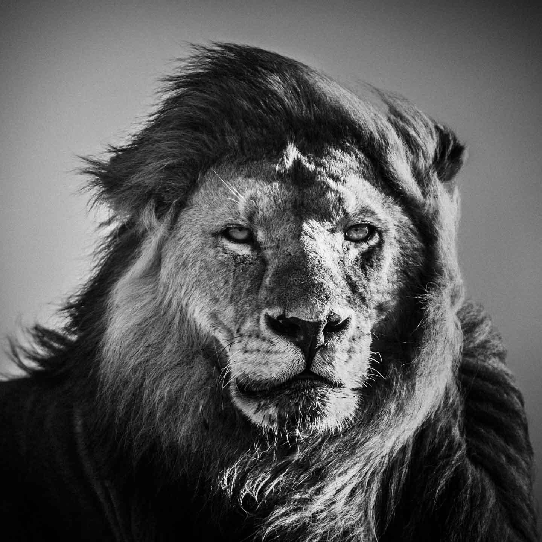 Attractive Lion Noir Et Blanc #10: Quels ...