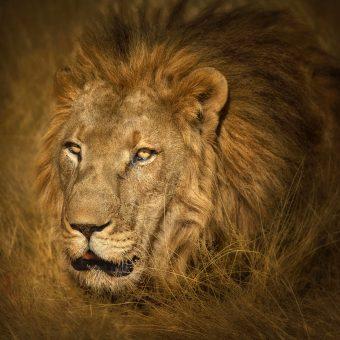Patrick Galibert AfricaTracks Nikon Botswana Lion