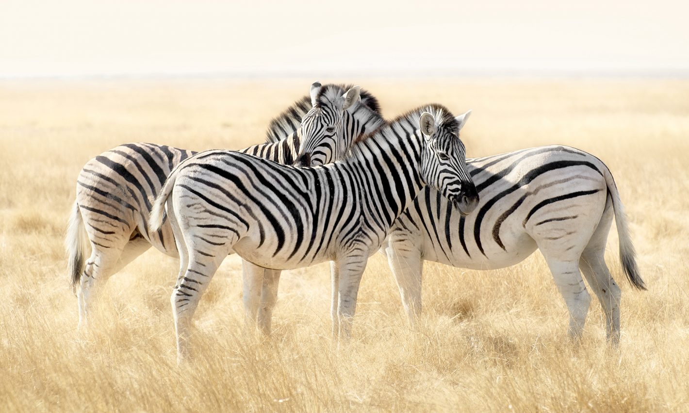 Patrick Galibert AfricaTracks Nikon Namibie Zèbre
