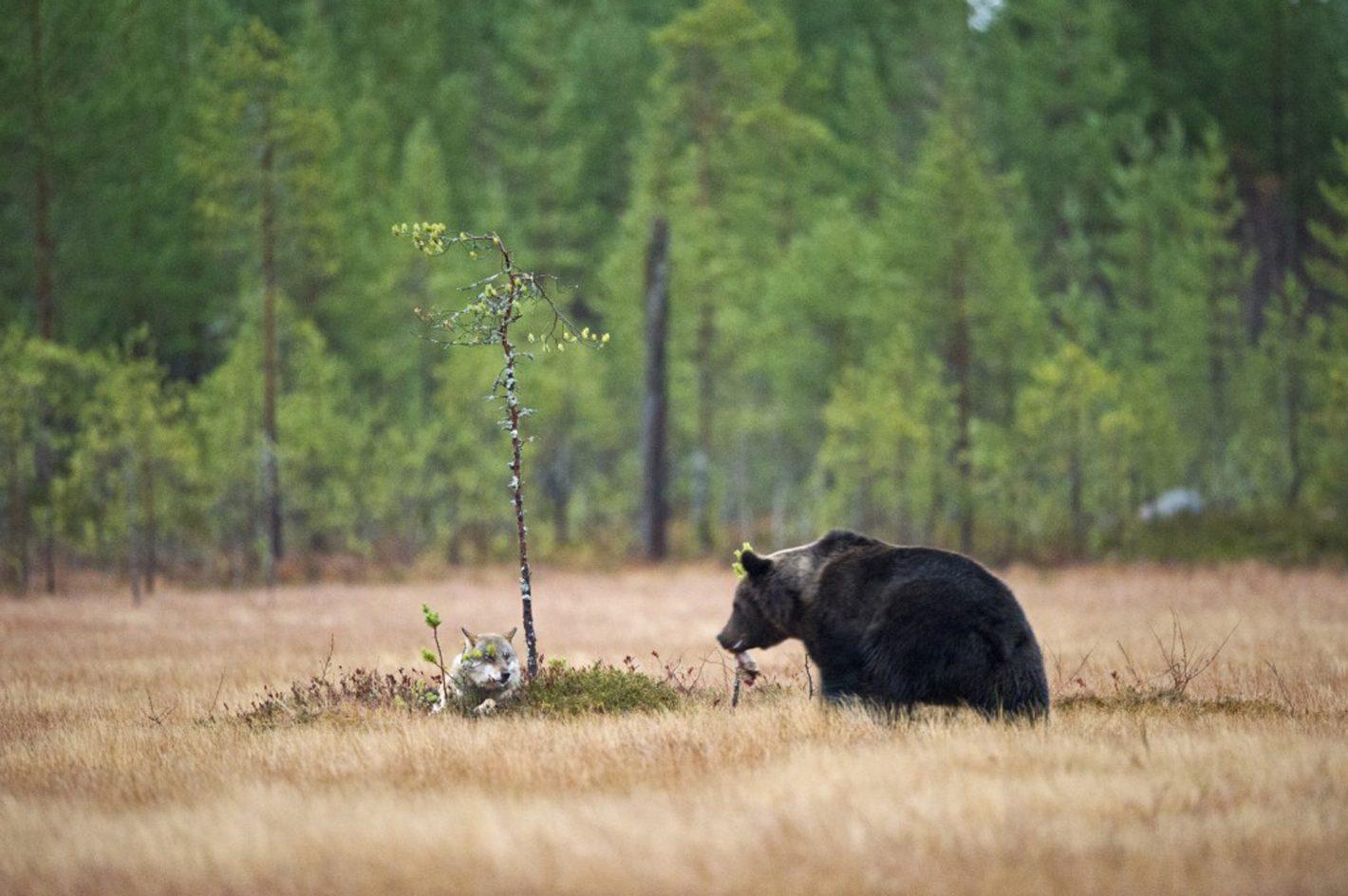 Viens dîner avec moi : voici l'ours sauvage qui invite sa copine louve à partager son repas. Photo prise avec le Nikon D3S et l'objectif NIKKOR 600MM F/4G ED VR à 1/50 s | 12 800 ISO, le 8/10/2011 à 7h11 ©Lassi Rautiainen