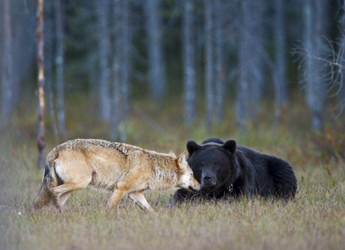 Personne ne peut savoir exactement pourquoi ou comment une jeune louve et un jeune ours sont devenus amis. Les touristes de toutes les régions du monde font le voyage pour essayer d'immortaliser cette belle amitié avec leur appareil photo. Photo prise avec le Nikon D3 et l'objectif NIKKOR 600MM F/4G ED VR à 1,7x f/6.7 | 1/60 s | 3200 ISO, le 15/09/2011 à 19h10 ©Lassi Rautiainen