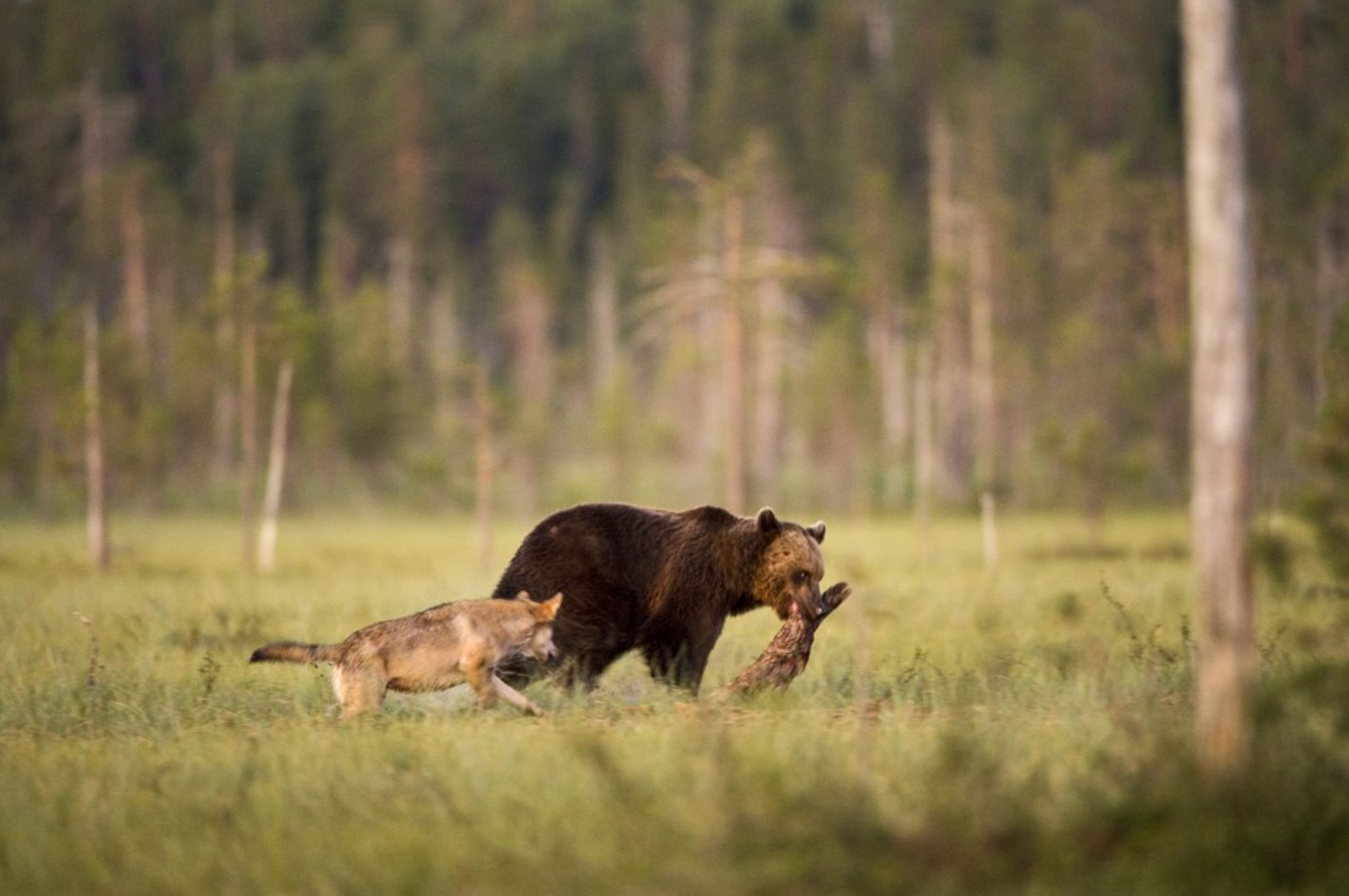 De rares photos montrent comment le jeune ours brun et la louve grise s'assoient pour manger et contempler ensemble le paysage pendant près de deux heures. Photo prise avec le Nikon D3S et l'objectif 600 mm + 1,7x f/6.7 | 1/60 s | 1600 ISO, le 16/09/2012 à 18h15 ©Lassi Rautiainen