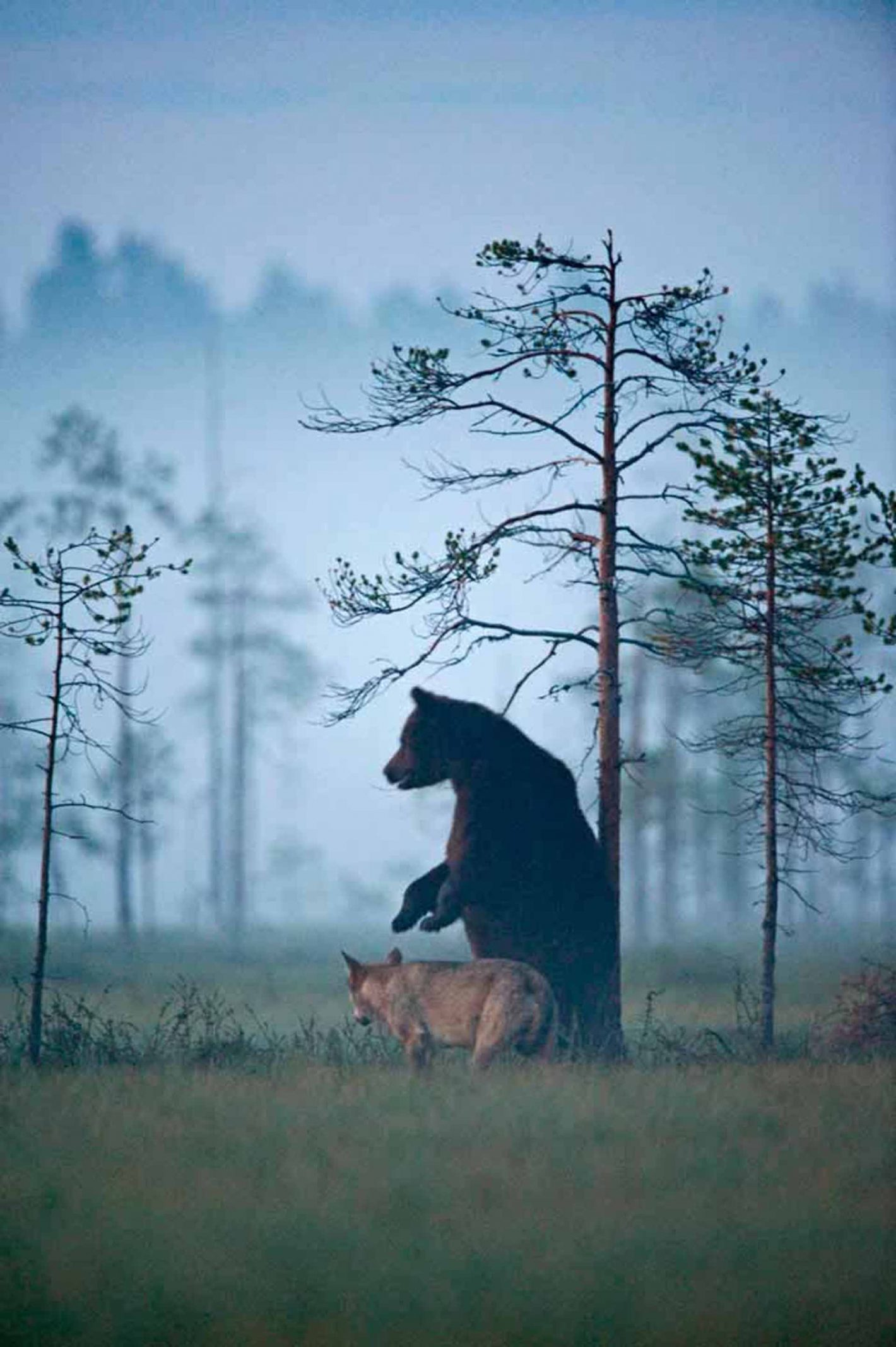 « Les ours et les loups restent mes sujets photographiques de prédilection. » Lassi Rautiainen. Photo prise avec le Nikon D3 et l'objectif NIKKOR 600MM