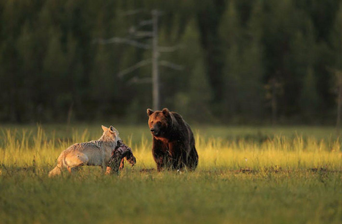 Chaque soir après une dure journée de chasse, on peut observer ce duo d'amis improbables en train de partager un dîner romantique autour d'une carcasse de chevreuil alors que le soleil se couche sur leur demeure sauvage. ©Lassi Rautiainen