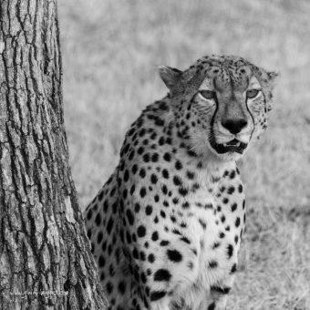 Serengeti : au milieu de la faune sauvage Africaine (Tanzanie)