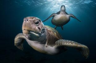 ©-Greg-LECOEUR - Grand Prix Festival Photo Montier : Green turtle in Tenerife