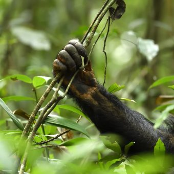 Les grands singes dans l'œil de Pierre Vernay