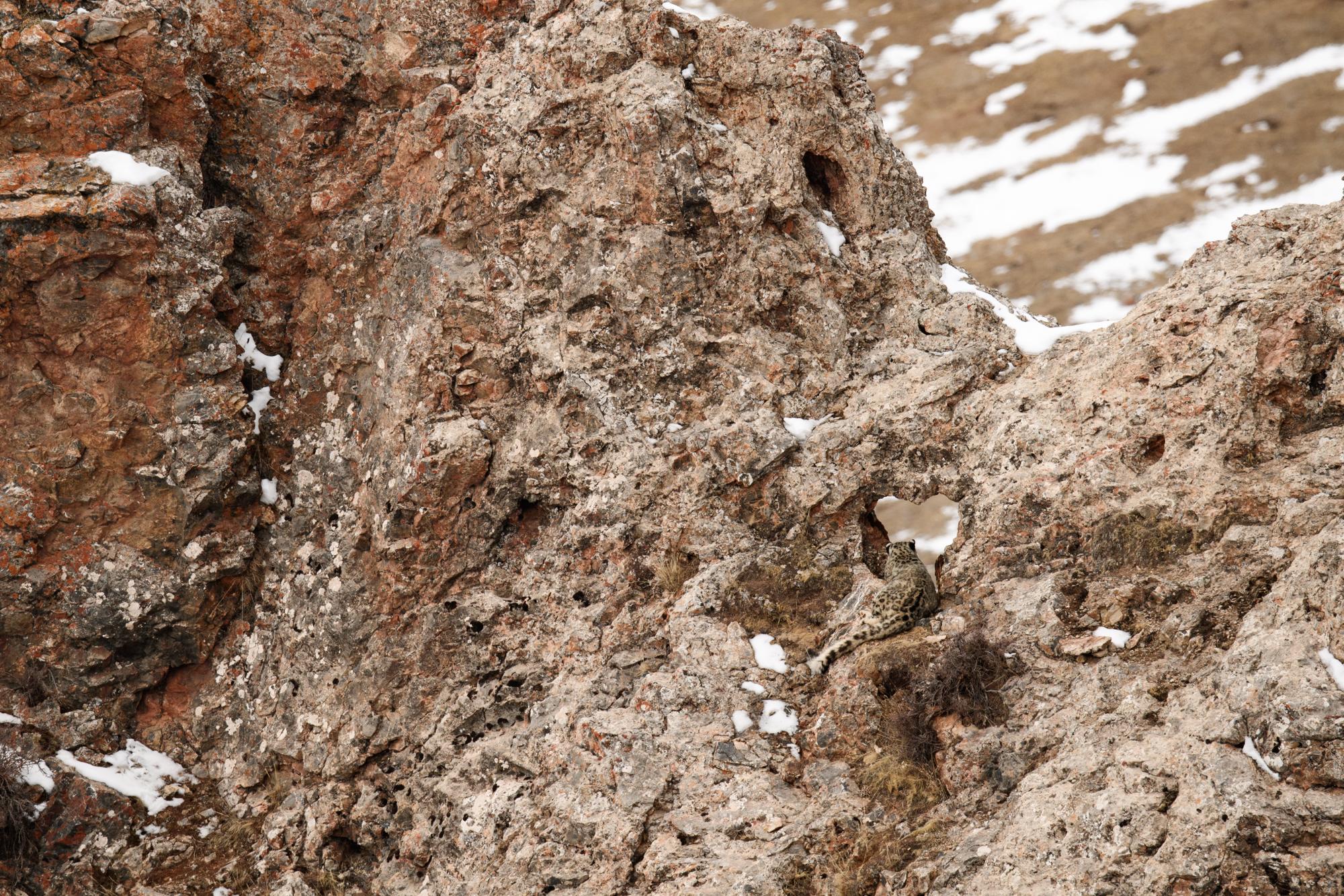 Sur les traces de la panthère des neiges avec Vincent Munier
