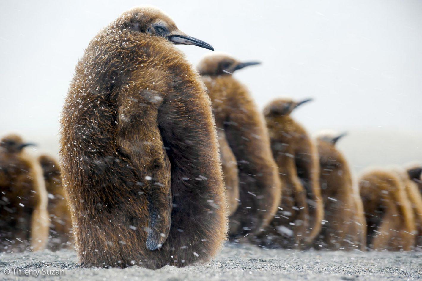 Bébés manchots royaux, Salisbury Plain, Géorgie du Sud, Antarctique.