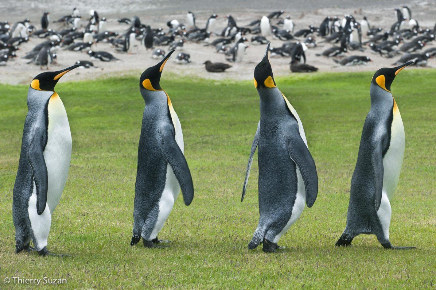 Manchots royaux, îles Falkland.