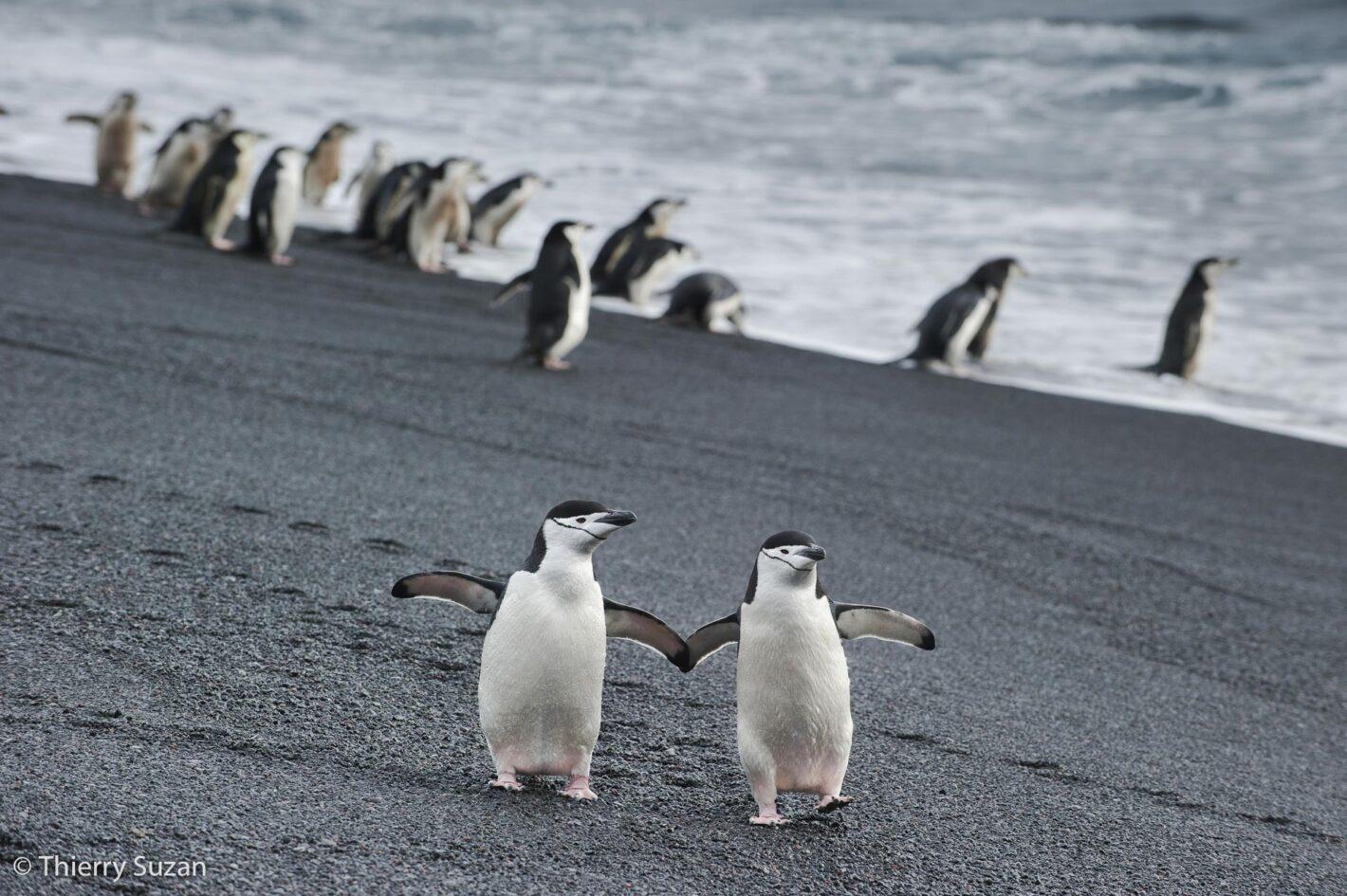 Manchots à jugulaire, Baily Head, île de la Déception, Antarctique.