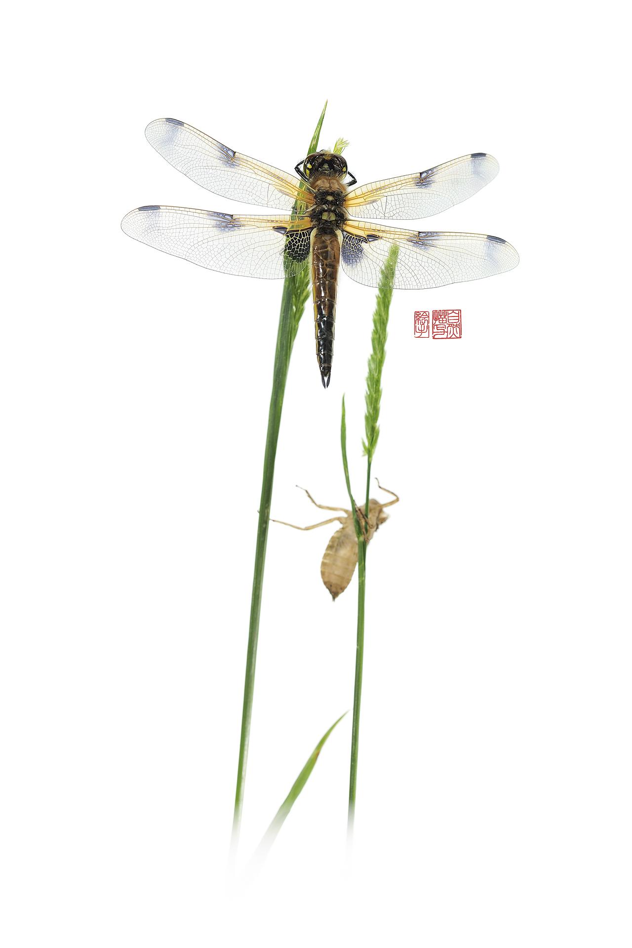 Libellula quadrimaculata suisaienogu Nikon