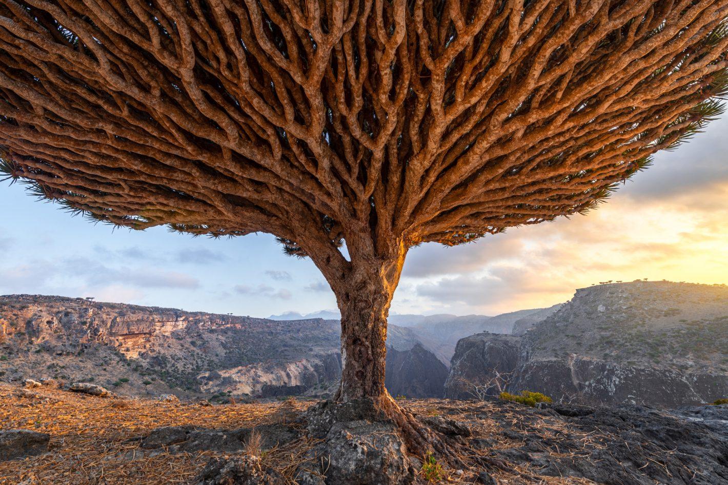 Dragonnier de Socotra : sur les traces de Marsel van Oosten