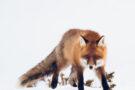 Lina Kayser, photographe de nature nordique et de la faune arctique