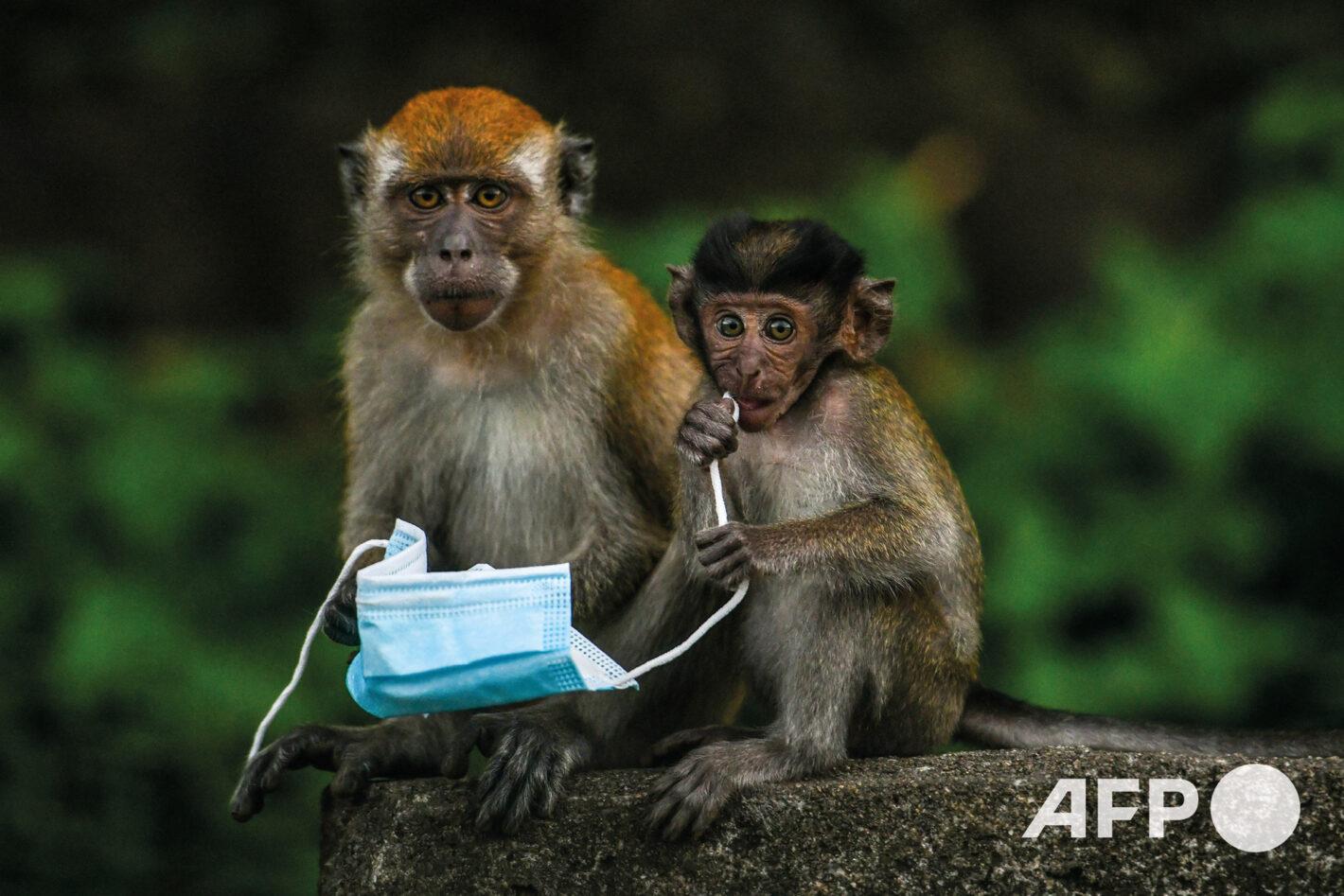 AFP 11 | Mohd RASFAN 30 octobre 2020 – Genting Sempah (Malaisie)